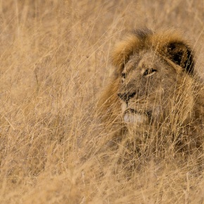 The Corporate Aftermath of Cecil the Lion'sDeath